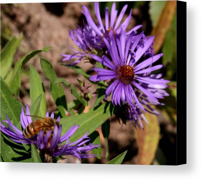 Purple Canvas Print featuring the photograph Bee On Wild Astor by Kathy Peltomaa Lewis