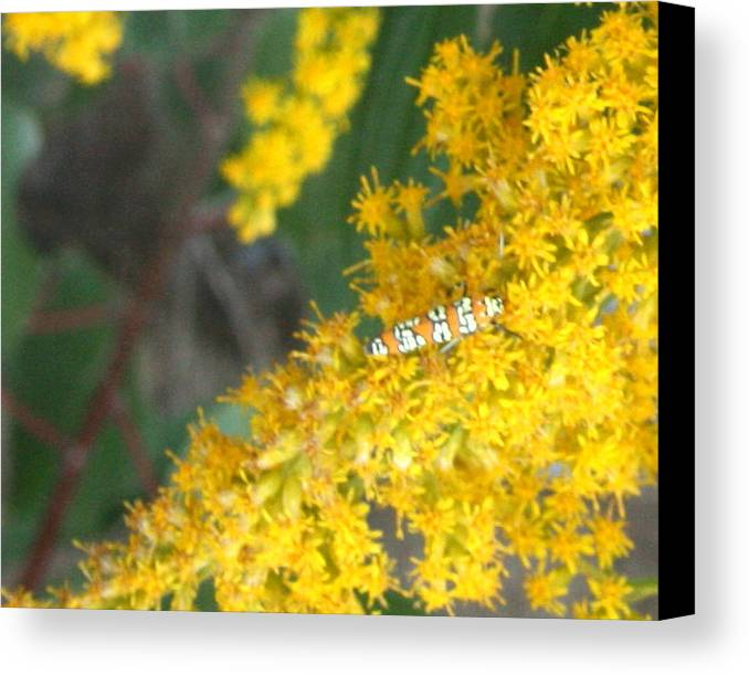 Yellow Canvas Print featuring the photograph Caterpillar On Goldenrod by Kathy Peltomaa Lewis