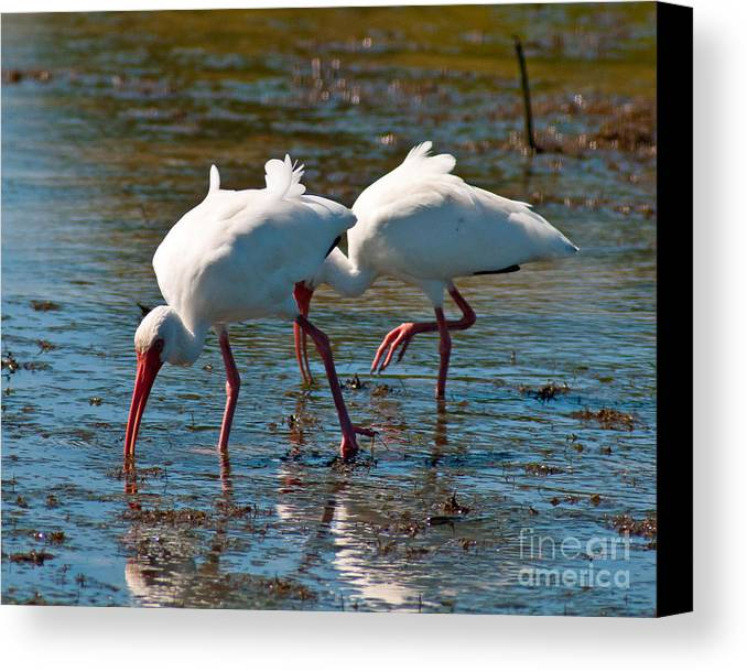 Terns Canvas Print featuring the photograph Feeding Time by Stephen Whalen