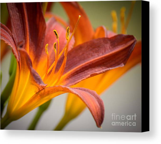 Flower Canvas Print featuring the photograph Lilies 4 by Bill Pohlmann
