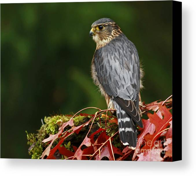 Merlin In The Rain Canvas Print featuring the photograph Merlin In The Rain by Inspired Nature Photography Fine Art Photography