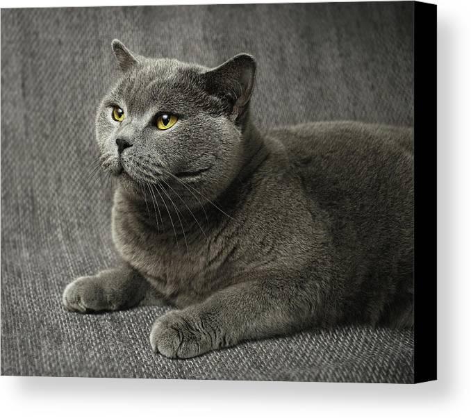 Horizontal Canvas Print featuring the photograph Pet Portrait Of British Shorthair Cat by Nancy Branston