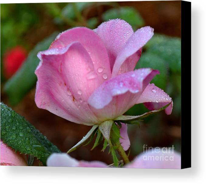 Rose Canvas Print featuring the photograph Pink Rose With Water Drops-33 by Eva Thomas