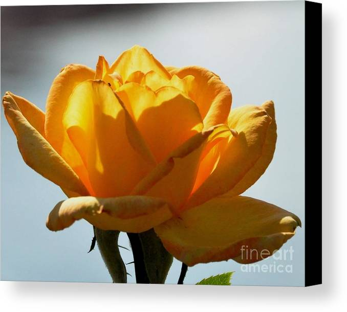 Flower Canvas Print featuring the photograph Yellow Rose by John Black