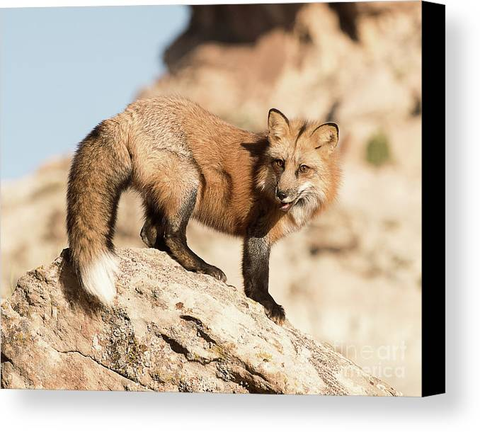 Mammal Canvas Print featuring the photograph Red Tailed Fox by Dennis Hammer