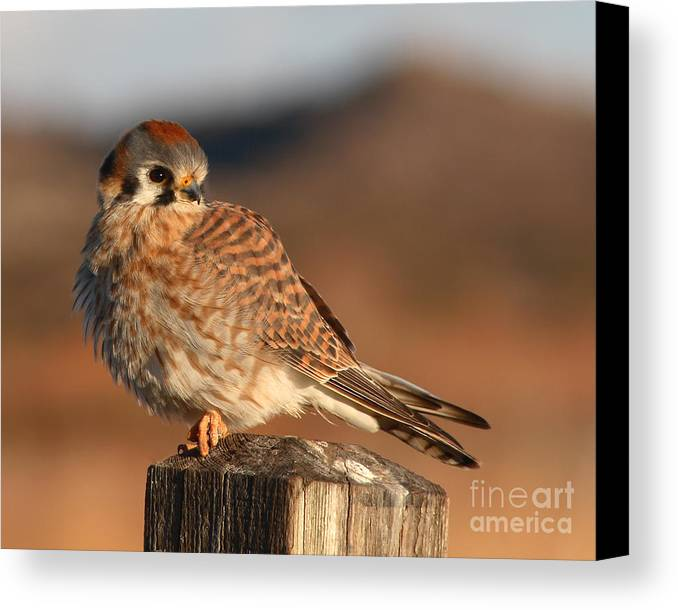 Kestrel Canvas Print featuring the photograph American Kestrel Giving Hunting Stare by Max Allen