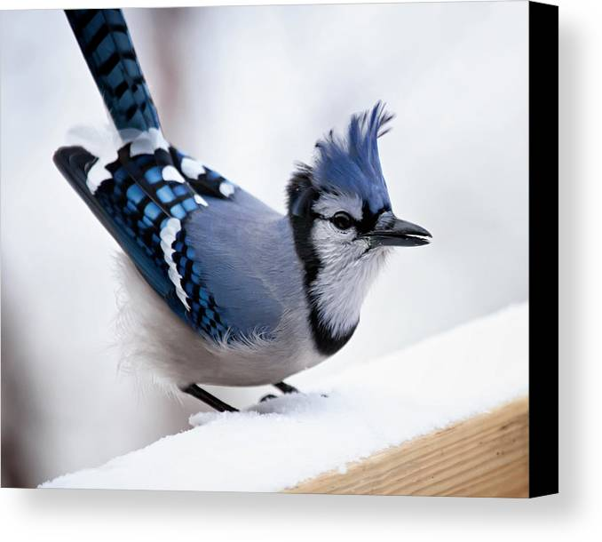 blue Jay' Canvas Print featuring the photograph Bad Feather Day by Al Mueller