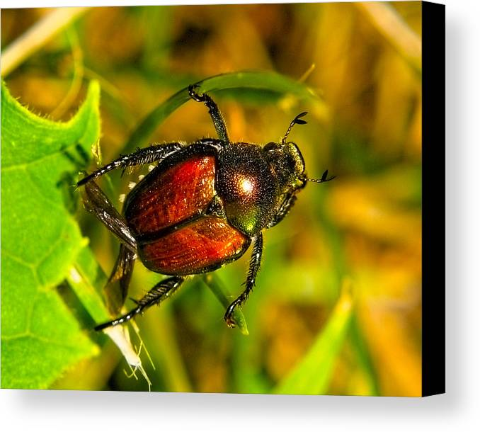 Insects Canvas Print featuring the photograph Beetle Take-off by Pradeep Bangalore
