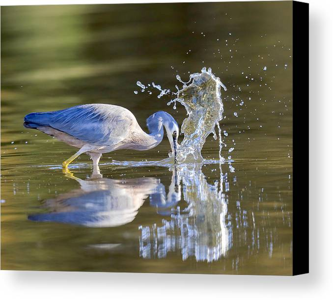 Bird Fishing For Prawns In Australian Lake Canvas Print featuring the photograph Bird Fishing In Lake by David Trent