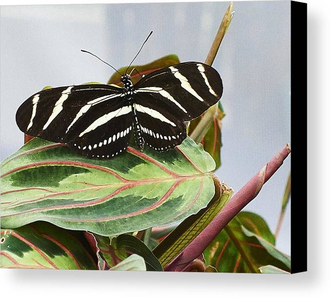 Butterfly Canvas Print featuring the photograph Black Butterfly by Steve Ondrus