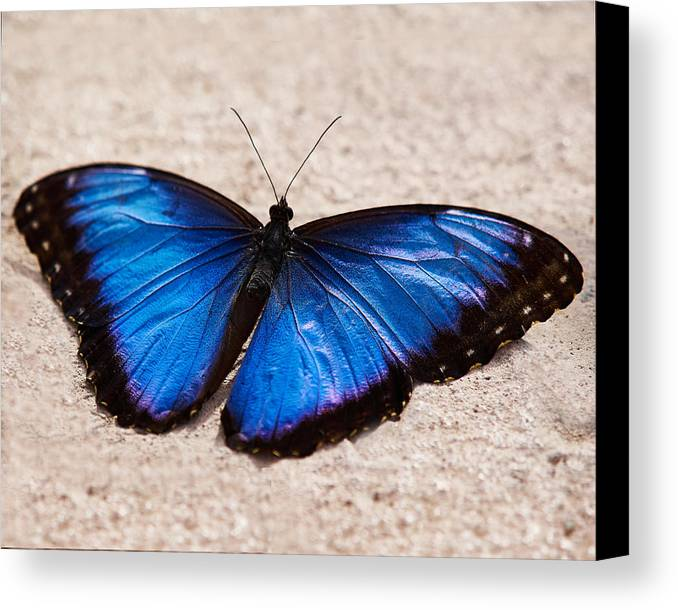 Butterfly Canvas Print featuring the photograph Blue Buttterfly by Steve Ondrus