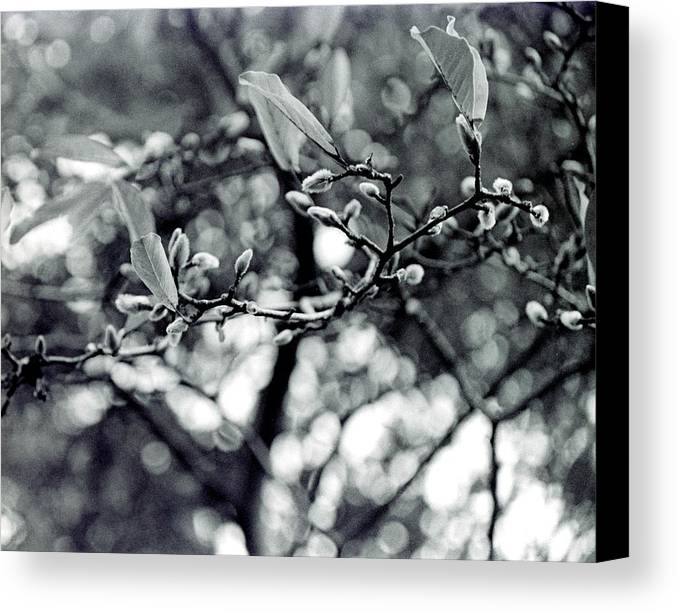 Black And White Canvas Print featuring the photograph Branch With Seed Pods by Karin Kohlmeier