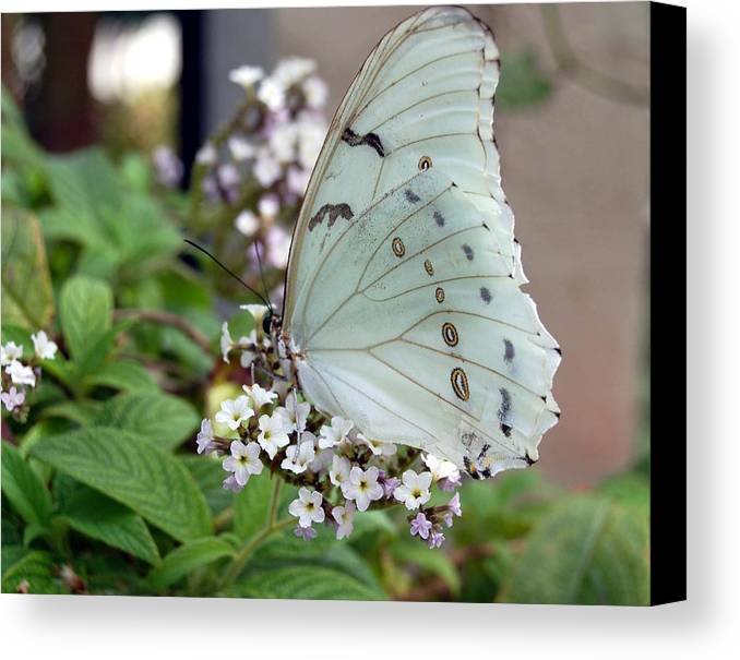 White Butterfly Canvas Print featuring the photograph Bride by Blima Efraim