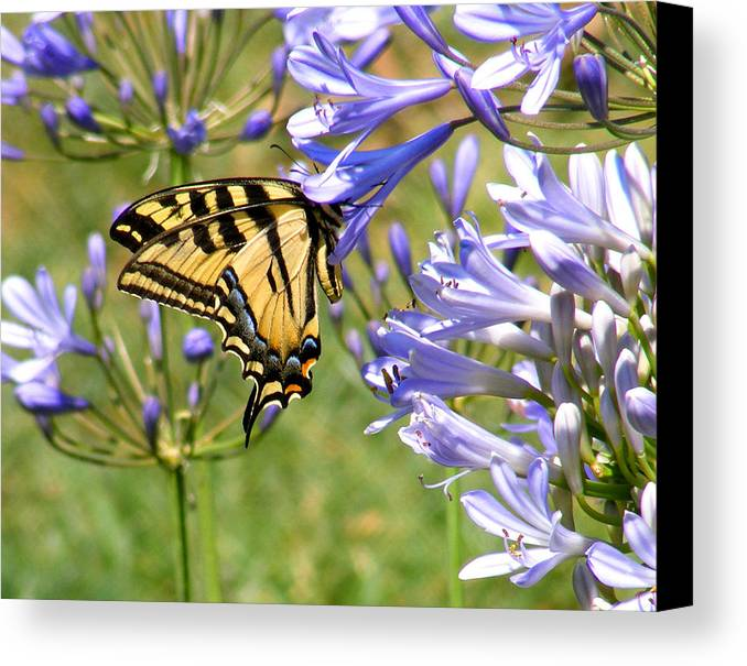Butterfly Canvas Print featuring the photograph Butterfly In Blue by Gail Salitui