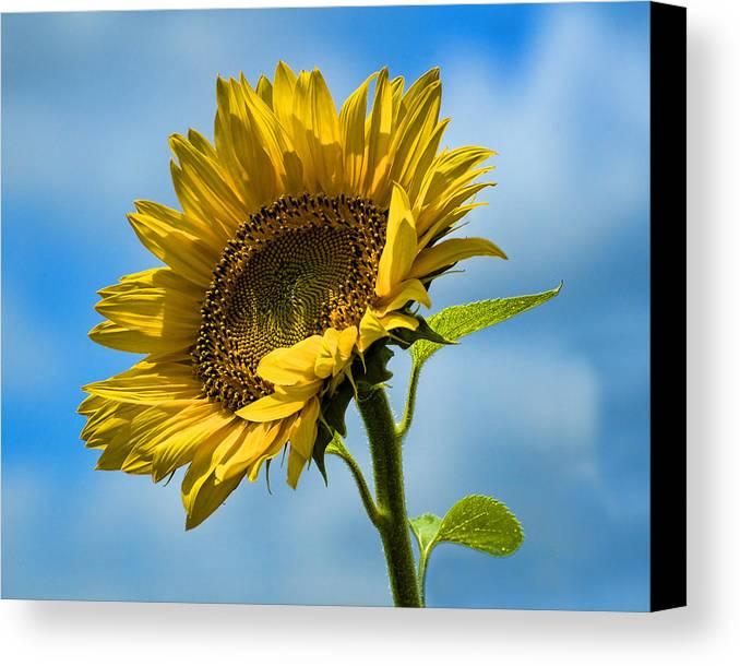 Sunflower Canvas Print featuring the photograph Buttonwood Sunflower 2 by Edward Sobuta