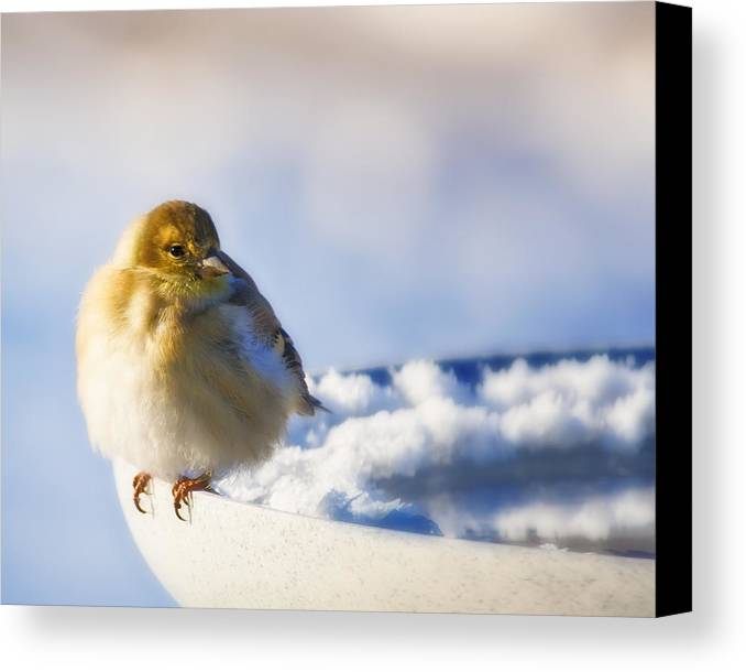 American Goldfinch Canvas Print featuring the photograph Cold American Goldfinch by Al Mueller