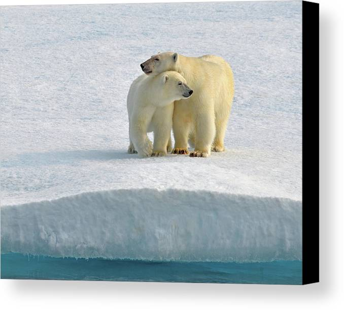 Polar Bear Canvas Print featuring the photograph Crossing by Tony Beck