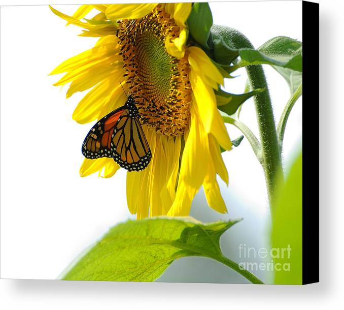 Butterfly Canvas Print featuring the photograph Glowing Monarch On Sunflower by Edward Sobuta