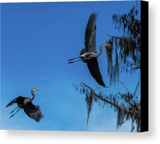 Birds Canvas Print featuring the photograph Great Blue Heron by Donald Trimble