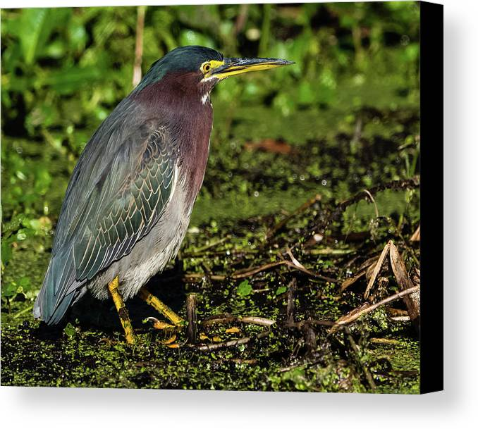 Birds Canvas Print featuring the photograph Green Heron In Swampy Water by Donald Trimble