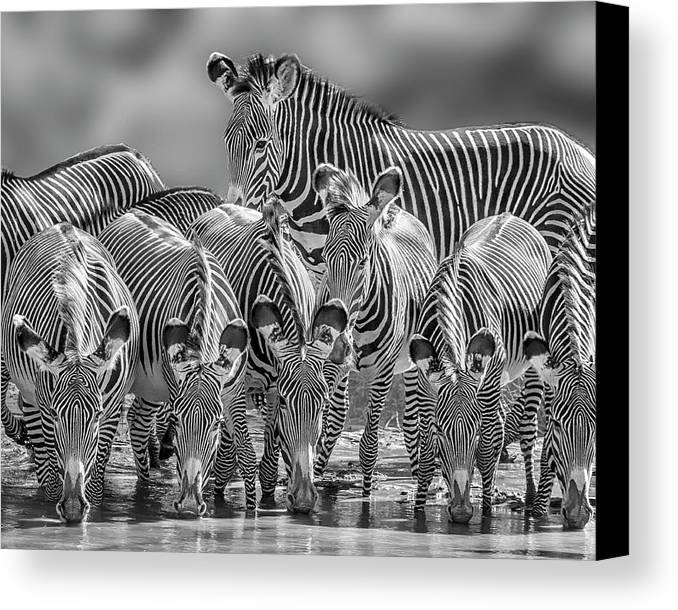 Africa Canvas Print featuring the photograph Grevy Zebra Party 7528bwc by Karen Celella