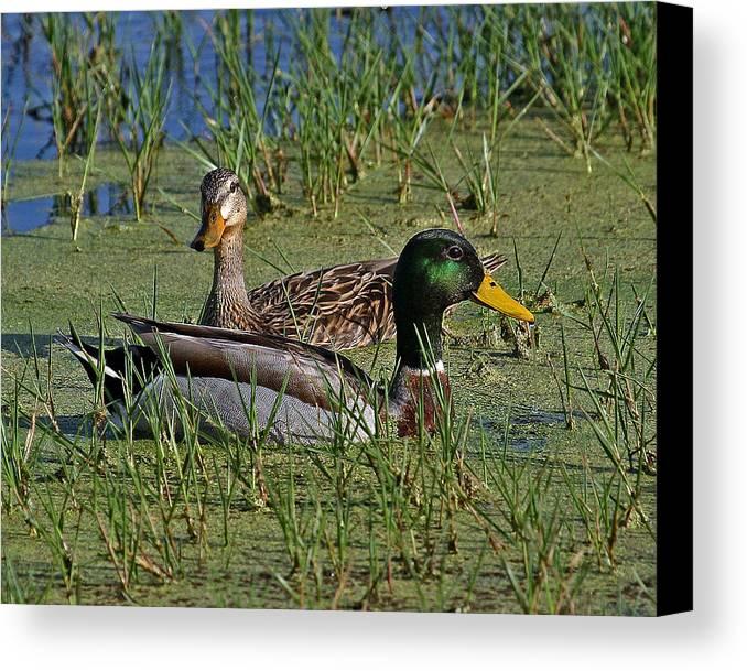 Mallard Ducks Canvas Print featuring the photograph Mallard Duck Pair by Larry Linton