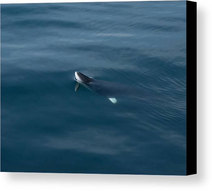 Minke Canvas Print featuring the photograph Minke Whale At Play by Patrice Hatcher