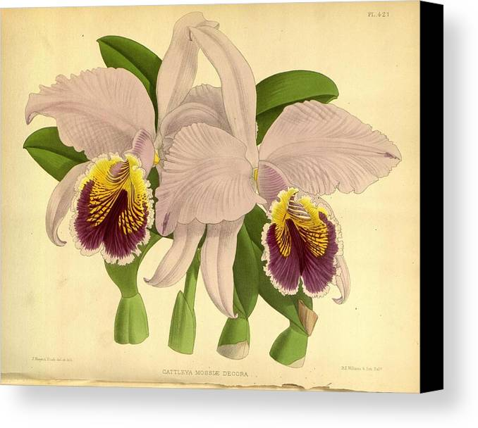 Orchid Canvas Print featuring the painting Orchid Cattleya Mossle Decora Venezuela by J Nugent Fitch