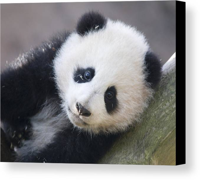 Panda Canvas Print featuring the photograph Panda Cub by Jerry Weinstein