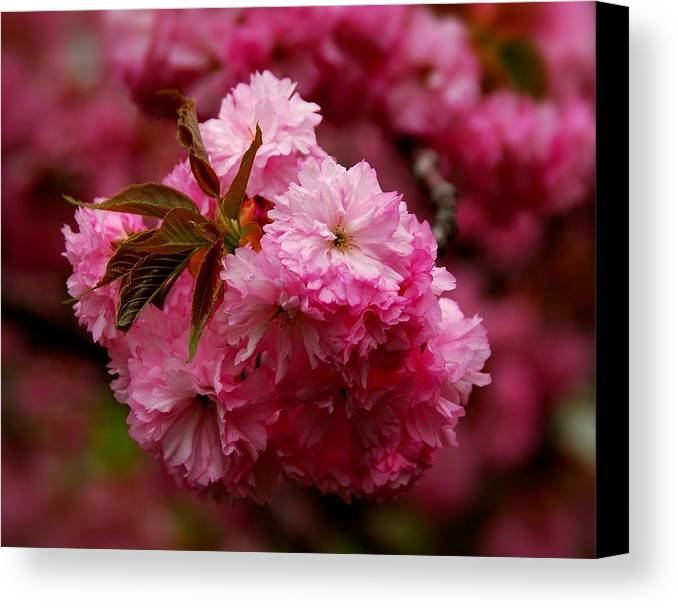 Cherry Blossom Trees Canvas Print featuring the photograph Pink Blooms by Angie Tirado