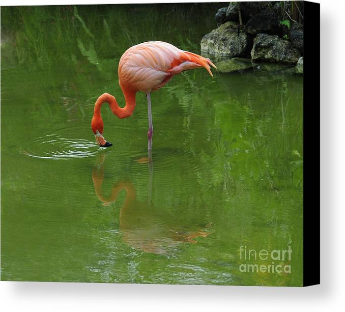 Pink Flamingo Canvas Print featuring the photograph Pink Flamingo by Cindy Lee Longhini