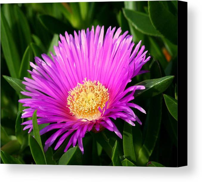 Flower Canvas Print featuring the photograph Purple Ice Plant by Kerry Reed