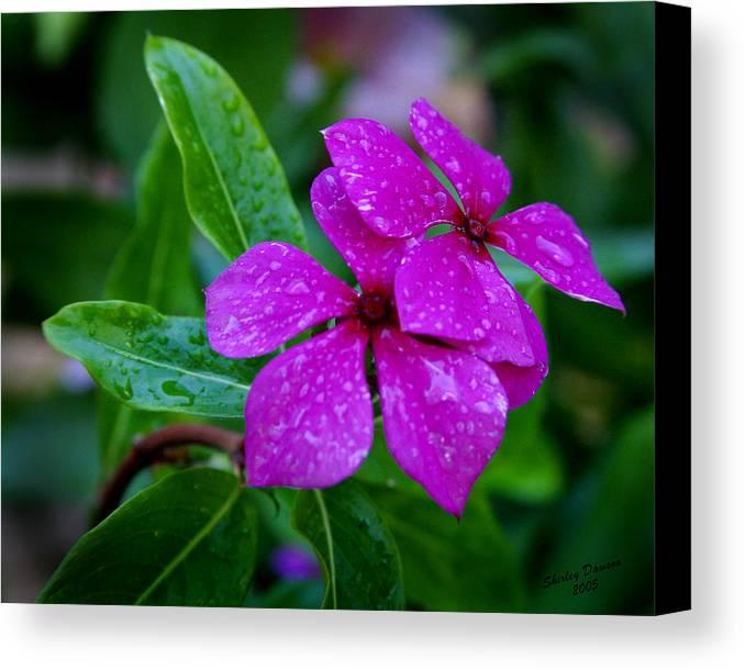 Flower Canvas Print featuring the photograph Purple Teardrop by Shirley Dawson