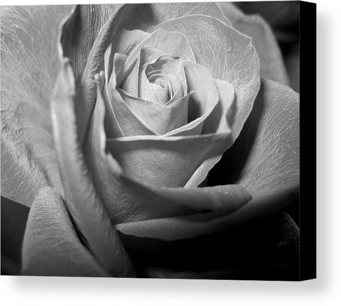 Rose Canvas Print featuring the photograph Rose by Lindsey Orlando