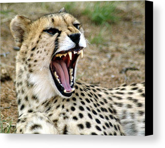 Cheetah Canvas Print featuring the photograph Smiling Cheetah by Charles Ridgway
