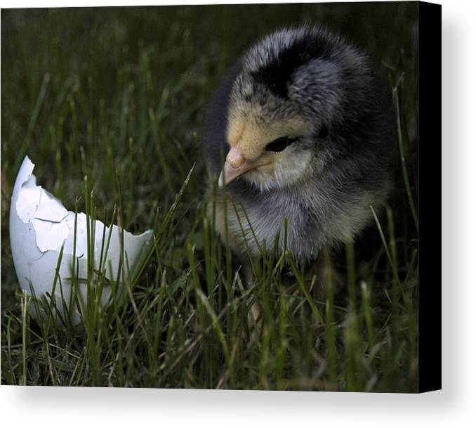 Chick Canvas Print featuring the photograph Spring Chick by Kris Paukstys