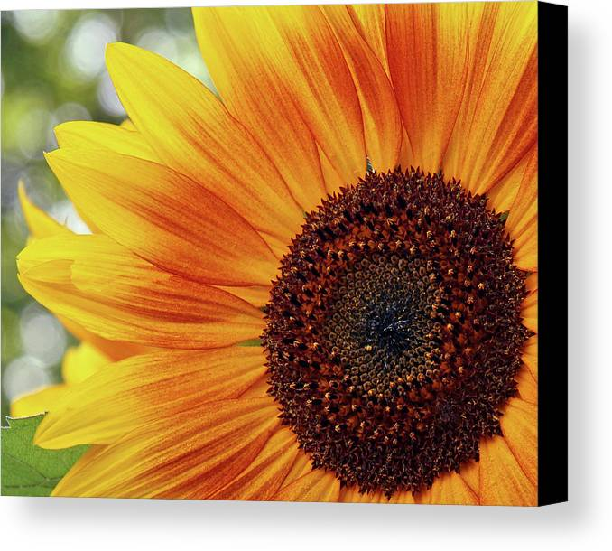 Flowers Canvas Print featuring the photograph Sunflower by Susan Morison