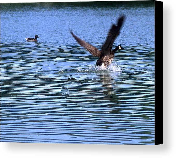 Canadian Goose Canvas Print featuring the photograph The Landing by Paul Michael Smith