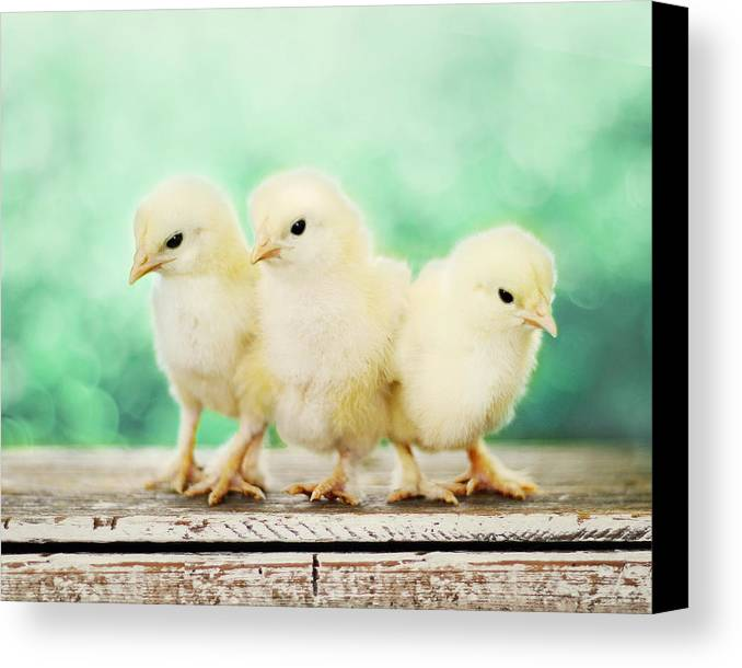Baby Chicks Canvas Print featuring the photograph Three Amigos by Amy Tyler