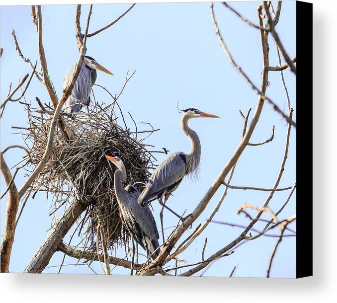 Blue Heron Canvas Print featuring the photograph Three Herons by Joni Eskridge