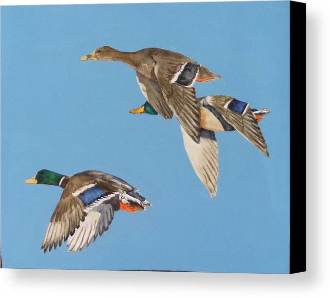 Blue Canvas Print featuring the painting Three Mallards by Diane Ziemski