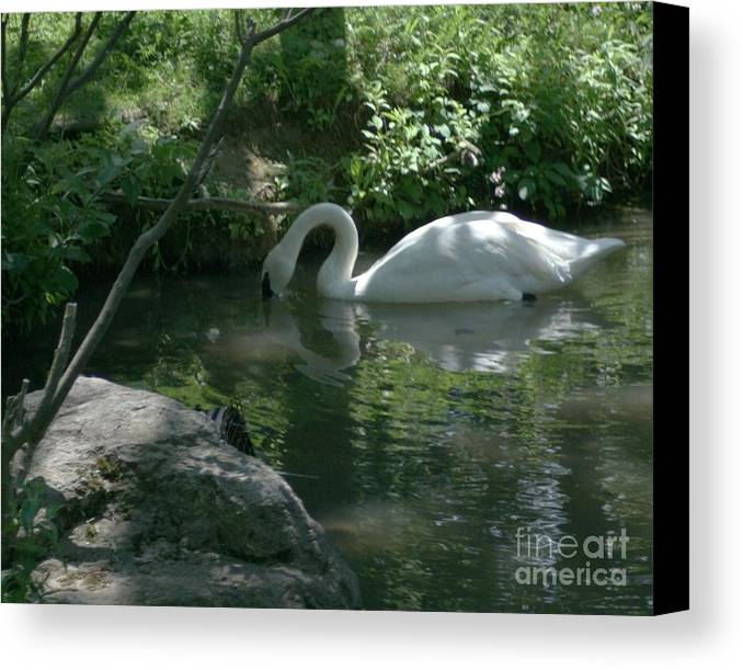 Trumpeter Swan Canvas Print featuring the photograph Trumpeter Swan by Dawn Downour