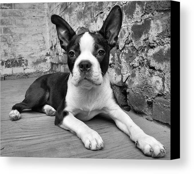Boston Terrier Canvas Print featuring the photograph Urban Hound by Crystal Rolfe