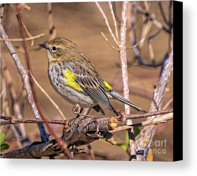 Nature Canvas Print featuring the photograph Yellow-rumped Warbler by Bill And Deb Hayes
