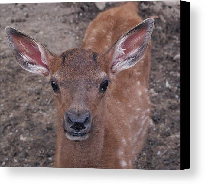 Fawn Canvas Print featuring the photograph Young Elk Fawn by Crystal Rolfe