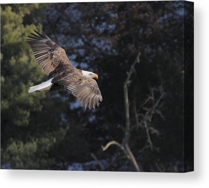 Eagle Canvas Print featuring the photograph American Bald Eagle by Coby Cooper