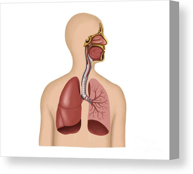 Anatomy Of Human Respiratory System Canvas Print Canvas Art By