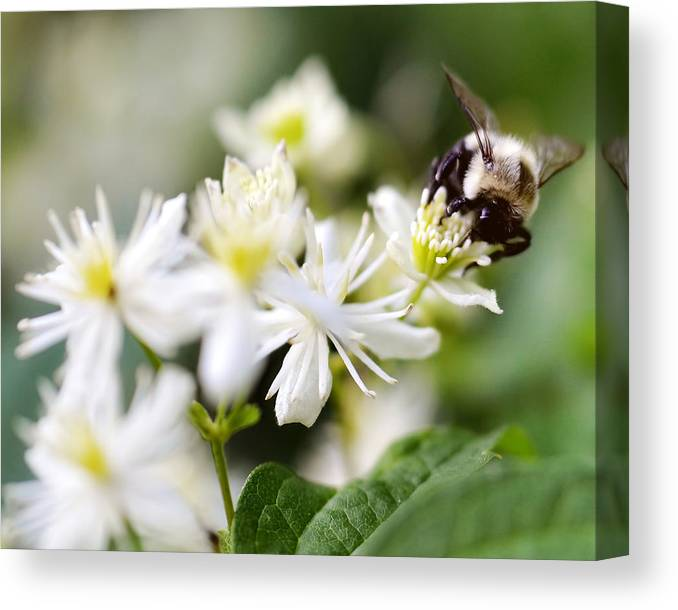 Flower Canvas Print featuring the photograph Bumble Bee On Clematis by Ginger Wagner