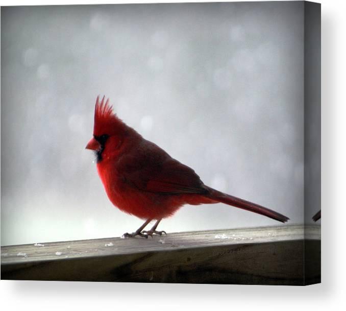 Cardinal Canvas Print featuring the photograph Cardinal by Cricket Hackmann
