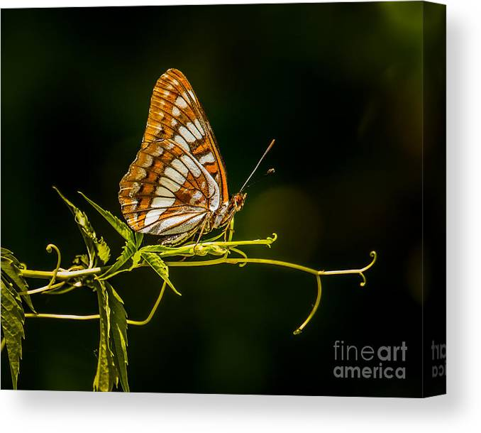 Butterfly Canvas Print featuring the photograph Checkerspot Butterfly by Janis Knight